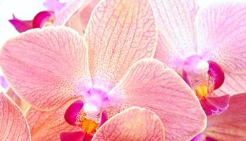 蘭花-Orchid